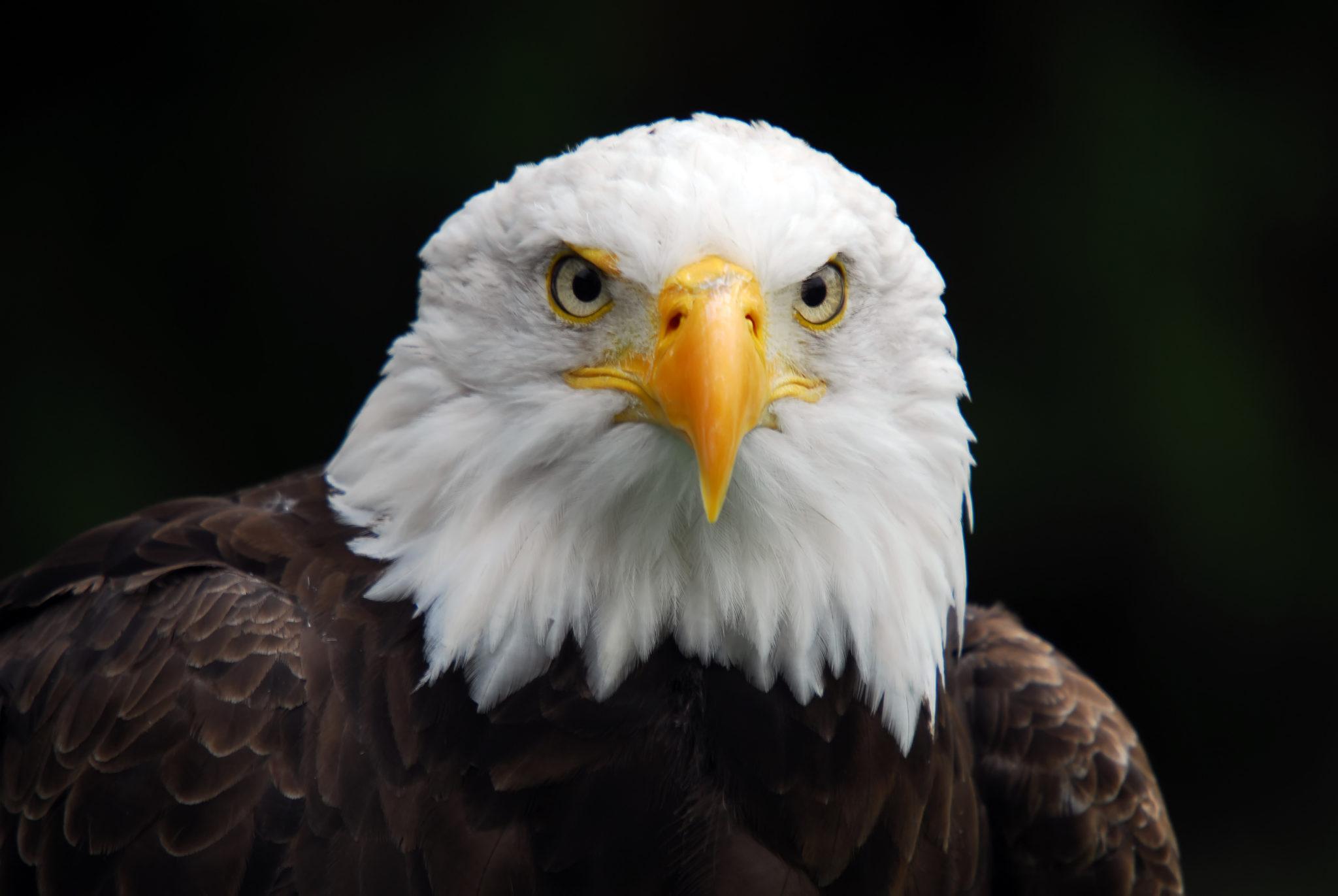 Portrait of an American Bald Eagle (Haliaeetus leucocephalus)